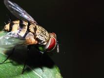 Fliegen Sie auf das grüne Blatt, das mit schwarzem Hintergrund, rotem Augentier, klarem Flügel, Insektenmakro- oder Nahaufnahme l Lizenzfreies Stockfoto