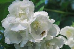 Fliegen Sie auf eine jamine Blume lizenzfreie stockfotografie
