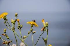 Fliegen Sie das Insekt, das auf gelben Blumen gegen einen unscharfen blauen Himmel und ein blaues Wasser gehockt wird Stockfotos