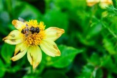 Fliegen Sie, eine gelbe Blume auf einem Hintergrund der grünen Blätter bestäubend Lizenzfreies Stockbild