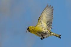 Fliegen Siskin gegen blauen Herbsthimmelhintergrund Stockbilder