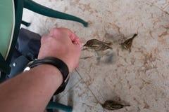 Fliegen-Spatz, der von der Hand isst stockfoto