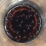 Fliegen-Taufliege melanogaster im Getränk stockfotos