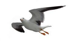 Fliegen von Heringsmöwe Stockfotografie