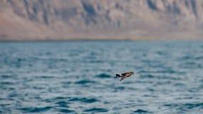 Fliegen-Wilsons Sturmschwalbe stockfotografie