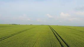 Fliegen wirklich schnelles über einem Maisfeld bei Sonnenuntergang Videoclip des Vorrates 4k stock video