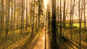 Fliegenabflussrinnen-Bäume des Waldes Sonnenunterganglichtstrahlen stock video
