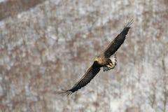 Fliegenadler über Meer und Schnee Lizenzfreie Stockfotografie