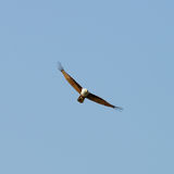 Fliegenadler stockbild