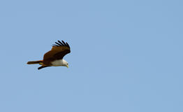 Fliegenadler lizenzfreies stockfoto