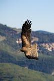 Fliegenadler stockfotos