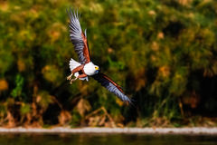 Fliegenadlerangler über dem See Naivasha Lizenzfreie Stockfotografie