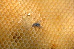 Fliegenarbeit über Bienenwabe Stockfotos