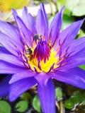 Fliegenbiene auf einem Lotos Stockfotos