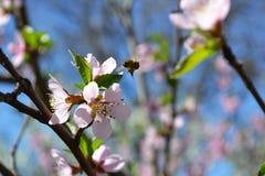 Fliegenbiene auf einer Blume Stockfotos