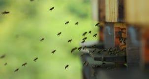 Fliegenbienen mit Bienenstock stock footage