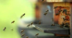 Fliegenbienen mit Bienenstock stock video