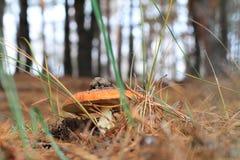 Fliegenblätterpilz Lizenzfreie Stockfotografie