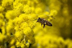 Fliegende Biene, die Blütenstaub von den gelben Blumen sammelt lizenzfreie stockbilder