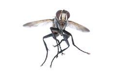 Fliegende Fliege Lizenzfreies Stockfoto