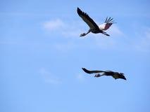 Fliegende gekrönte Kräne Stockfotografie