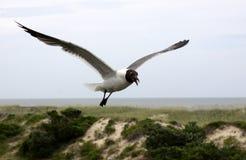 Fliegende lachende Möve lizenzfreie stockfotos