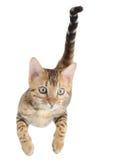 Fliegende oder springende Kätzchenkatze Stockbild