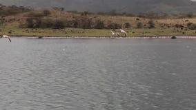 Fliegende rosa Flamingos im See stock video footage