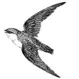 Fliegende Schwalbe - ausführliche Skizze einer Tätowierung Stockfoto