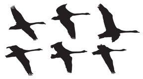 Fliegende Schwanvögel im Himmel, Schattenbild lizenzfreie abbildung
