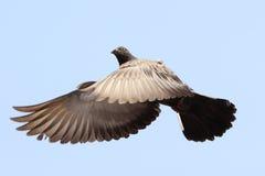 Fliegende Taube Lizenzfreie Stockbilder