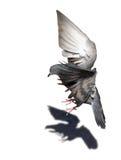 Fliegende Taube getrennt auf Weiß Stockfotos