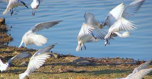 Fliegende weiße Vögel am Randarda See, Rajkot, Gujarat Lizenzfreie Stockbilder