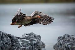 Fliegende wilde Gans Lizenzfreie Stockbilder