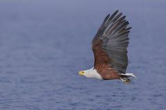 Fliegender afrikanischer Fisch-Adler über Wasser Stockfotografie