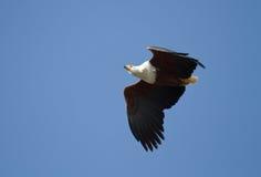 Fliegender afrikanischer Fisch-Adler Lizenzfreies Stockbild