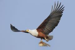 Fliegender afrikanischer Fisch-Adler mit Fischen Lizenzfreies Stockfoto