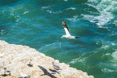 Fliegender Basstölpelvogel stockbild