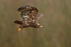 Fliegender dunkler Schweinskopfsülzenraubvogel Steppenadler, Aquila-nipalensis, mit großer Spannweite, klarer Hintergrund, Tschec Stockfotos