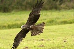 Fliegender eisenhaltiger Falke Stockfoto
