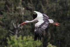 Fliegender europ?ischer wei?er Storch, ciconia ciconia in einem deutschen Naturpark stockbild