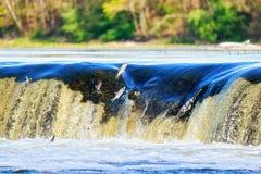 Fliegender Fisch im Ventas-Rumbawasserfall in Kuldiga von Lettland lizenzfreie stockfotos