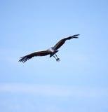 Fliegender gekrönter Kran Stockfotos