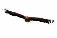 Fliegender goldener Adler Stockfoto