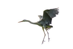 Fliegender grauer Reiher Lizenzfreies Stockbild