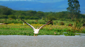 Fliegender großer weißer Pelikan Lizenzfreie Stockfotos