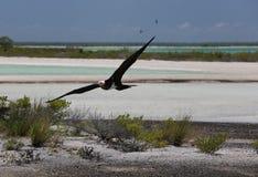 Fliegender junger Fregatte-Vogel Stockbilder