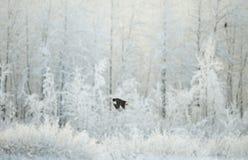 Fliegender kahler Adler Stockfotografie