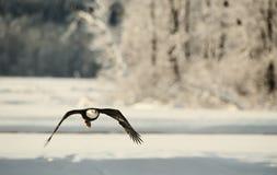 Fliegender kahler Adler Stockfoto
