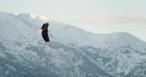 Fliegender kahler Adler. Stockbilder